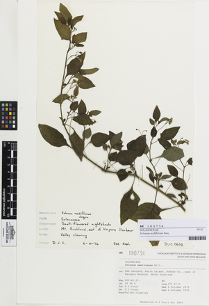 Solanum nodiflorum, AK180734, © Auckland Museum CC BY