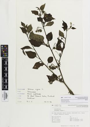 Solanum nigrum, AK180736, © Auckland Museum CC BY