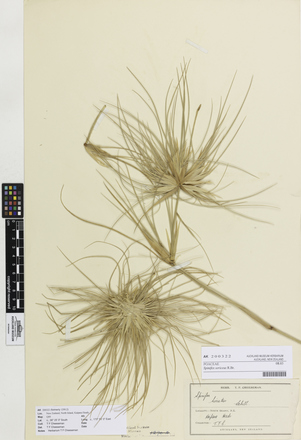 Spinifex sericeus, AK200322, © Auckland Museum CC BY