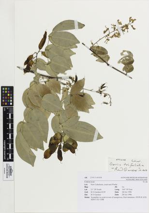 Linnaean Plantae FABACEAE, AK295408, © Auckland Museum CC BY