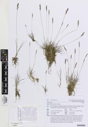 Agrostis muelleriana, AK368696, © Auckland Museum CC BY