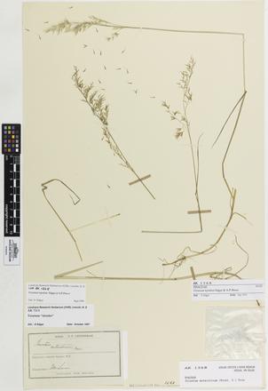 Trisetum lepidum, AK1568, © Auckland Museum CC BY