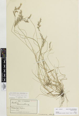 Rytidosperma unarede, AK1662, © Auckland Museum CC BY