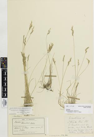 Rytidosperma thomsonii, AK1719, © Auckland Museum CC BY