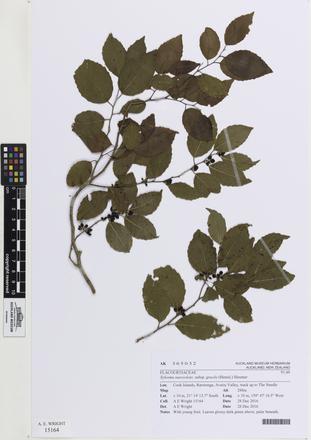Xylosma suaveolens gracile, AK365032, © Auckland Museum CC BY