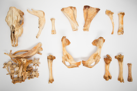 Bos taurus, LM486, © Auckland Museum CC BY