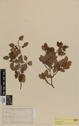 Fuscospora fusca, AK3715, © Auckland Museum CC BY