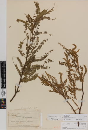 Sophora chathamica, AK4970, © Auckland Museum CC BY