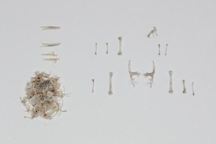 Oligosoma nigriplantare, LH887, © Auckland Museum CC BY