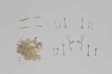Oligosoma zelandicum, LH994, © Auckland Museum CC BY