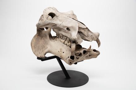 Hippopotamus amphibius, LM246, © Auckland Museum CC BY