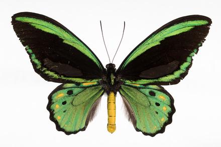 Ornithoptera priamus euphorion, AMNZ100288, © Auckland Museum CC BY