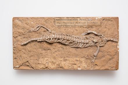Neusticosaurus pusillus, LH3908, © Auckland Museum CC BY