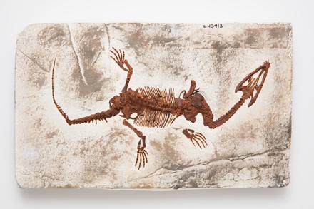 Lariosaurus balsami, LH3913, © Auckland Museum CC BY