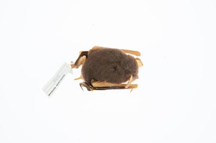 Mystacina tuberculata rhyacobia, LM305, © Auckland Museum CC BY