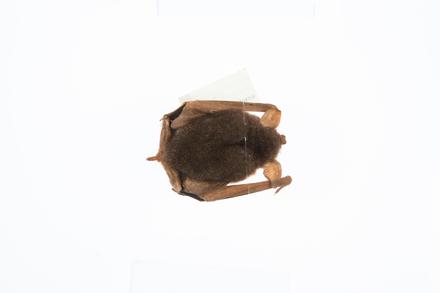 Mystacina tuberculata tuberculata, LM318, © Auckland Museum CC BY
