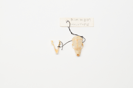 Mystacina tuberculata aupourica, LM309, © Auckland Museum CC BY