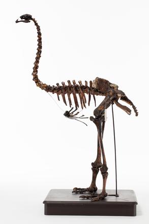 Emeus crassus, LB7172, © Auckland Museum CC BY