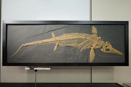 Ichthyosaurus intermedius, LH1630, © Auckland Museum CC BY