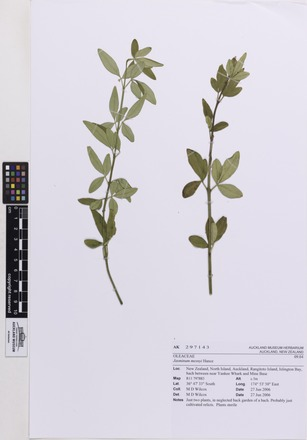 Jasminum mesnyi, AK297143, © Auckland Museum CC BY