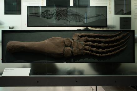 Pliosaurus brachydeirus, LH1365, © Auckland Museum CC BY