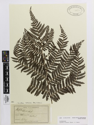 Cyathea colensoi, AK136256, © Auckland Museum CC BY
