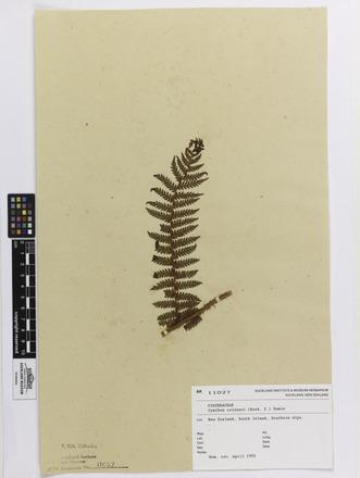 Cyathea colensoi, AK11027, © Auckland Museum CC BY