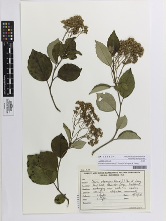 Olearia arborescens, AK366804, N/A