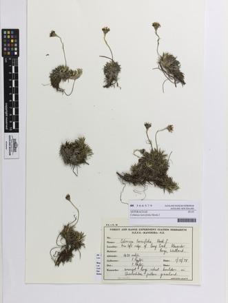 Celmisia laricifolia, AK366579, N/A