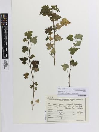 Hoheria glabrata, AK366800, N/A