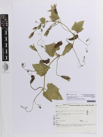 Lagenaria siceraria, AK366294, N/A