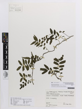 Arthropteris tenella, AK353497, © Auckland Museum CC BY