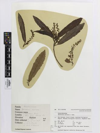 Quintinia serrata, AK211690, © Auckland Museum CC BY