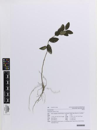 Ligustrum sinense, AK369346, © Auckland Museum CC BY