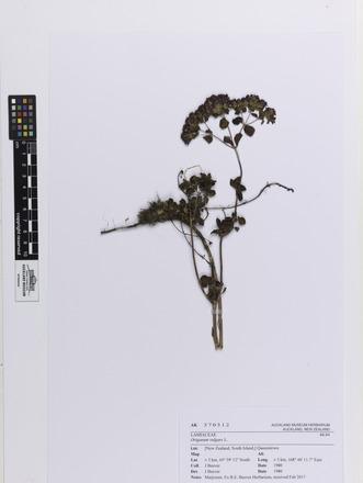 Origanum vulgare, AK370312, © Auckland Museum CC BY