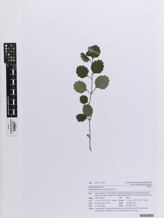 Rhabdothamnus solandri, AK367263, © Auckland Museum CC BY