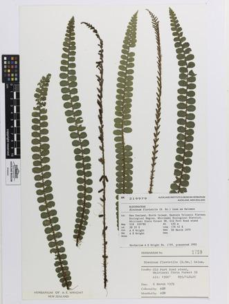 Blechnum fluviatile, AK219979, © Auckland Museum CC BY