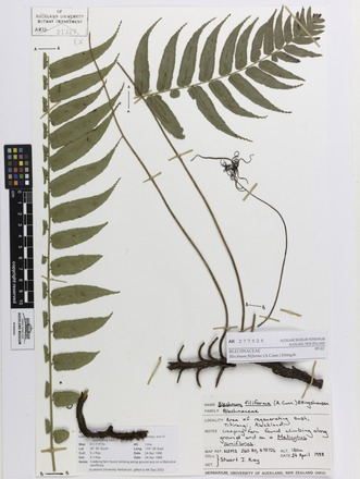 Blechnum filiforme, AK277525, © Auckland Museum CC BY