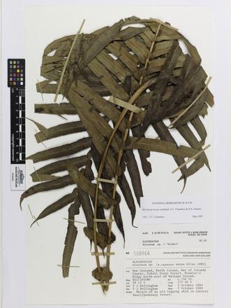 Blechnum novae-zelandiae, AK168964, © Auckland Museum CC BY