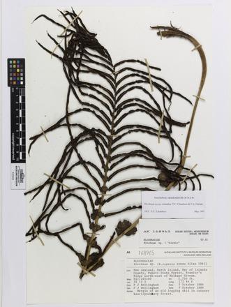 Blechnum novae-zelandiae, AK168965, © Auckland Museum CC BY