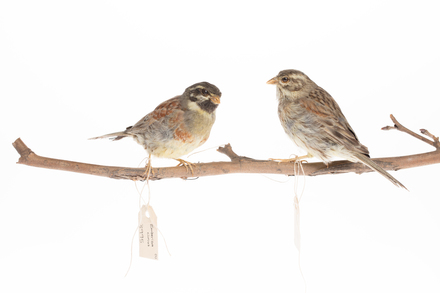 Emberiza cirlus, LB3995, © Auckland Museum CC BY