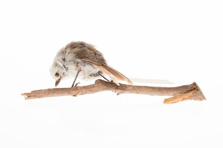 Mohoua albicilla, LB15213, © Auckland Museum CC BY