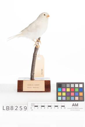 Serinus canaria, LB8259, © Auckland Museum CC BY