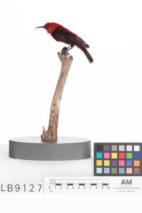 Myzomela cardinalis, LB9127, © Auckland Museum CC BY
