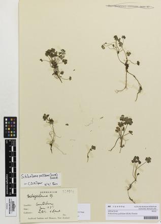 Schizeilema pallidum, AK104996, © Auckland Museum CC BY