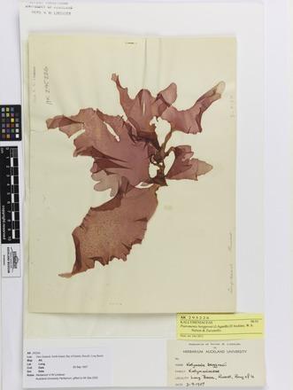 Psaromenia berggrenii, AK295226, © Auckland Museum CC BY