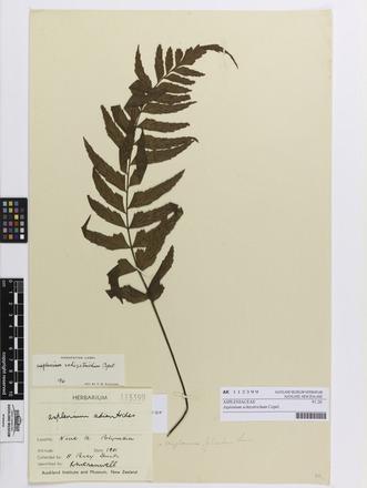 Asplenium schizotrichum, AK113399, © Auckland Museum CC BY
