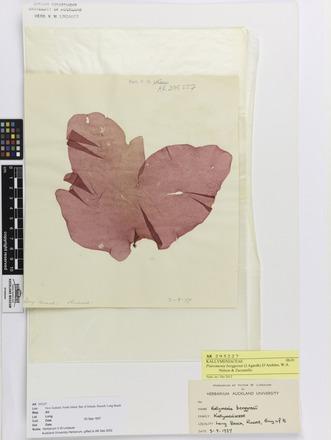 Psaromenia berggrenii, AK295227, © Auckland Museum CC BY