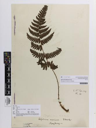 Dryopteris varia, AK112763, © Auckland Museum CC BY