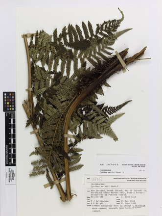 Cyathea smithii, AK167662, © Auckland Museum CC BY